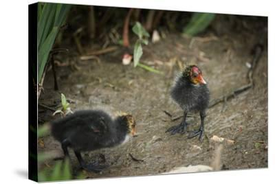 Coot (Fulica) Young Chicks, Gloucestershire, England, United Kingdom-Janette Hill-Stretched Canvas Print