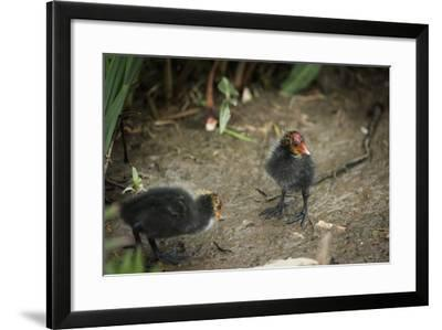 Coot (Fulica) Young Chicks, Gloucestershire, England, United Kingdom-Janette Hill-Framed Photographic Print
