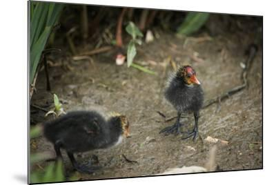 Coot (Fulica) Young Chicks, Gloucestershire, England, United Kingdom-Janette Hill-Mounted Photographic Print