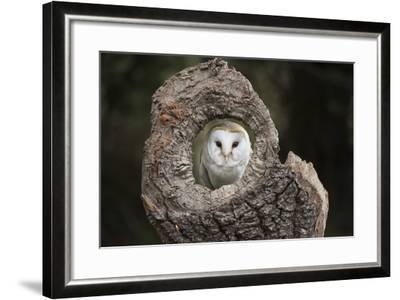 Barn Owl (Tyto Alba), Herefordshire, England, United Kingdom-Janette Hill-Framed Photographic Print