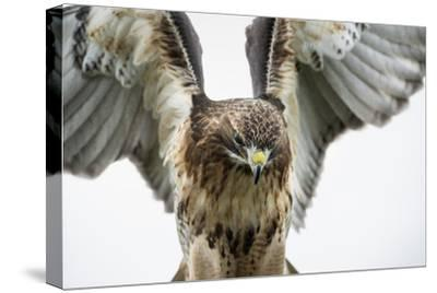 Red-Tailed Hawk (Buteo Jamaicensis), Bird of Prey, England, United Kingdom-Janette Hill-Stretched Canvas Print