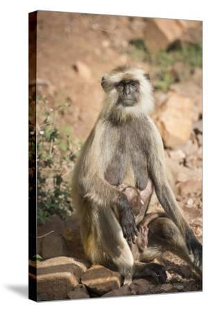 Gray Langurs (Hanuman Langurs) (Langur Monkey) (Semnopithecus Entellus)-Janette Hill-Stretched Canvas Print