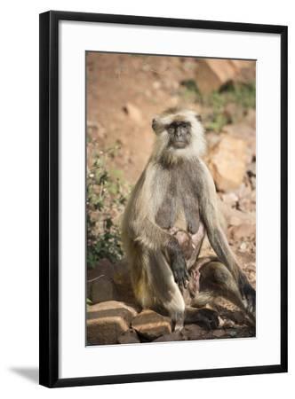 Gray Langurs (Hanuman Langurs) (Langur Monkey) (Semnopithecus Entellus)-Janette Hill-Framed Photographic Print