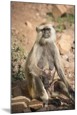 Gray Langurs (Hanuman Langurs) (Langur Monkey) (Semnopithecus Entellus)-Janette Hill-Mounted Photographic Print