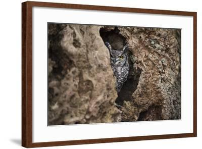 Spotted Eagle Owl (Bubo Africanus), Herefordshire, England, United Kingdom-Janette Hill-Framed Photographic Print