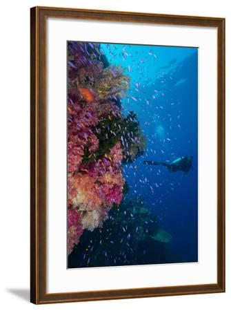 Colourful Reef Fish (Orange and Purple Anthias Sp.) Plus with Hard and Soft Corals on Reef Wall-Louise Murray-Framed Photographic Print