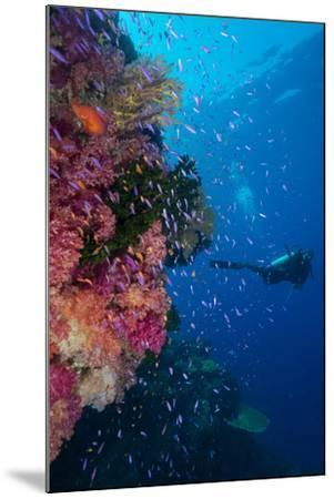 Colourful Reef Fish (Orange and Purple Anthias Sp.) Plus with Hard and Soft Corals on Reef Wall-Louise Murray-Mounted Photographic Print