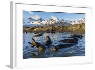 Southern Elephant Seal Pups (Mirounga Leonina), in Melt Water Pond, St. Andrews Bay, South Georgia-Michael Nolan-Framed Photographic Print