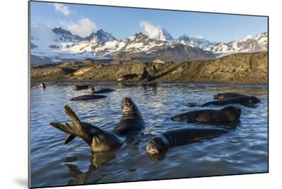 Southern Elephant Seal Pups (Mirounga Leonina), in Melt Water Pond, St. Andrews Bay, South Georgia-Michael Nolan-Mounted Photographic Print