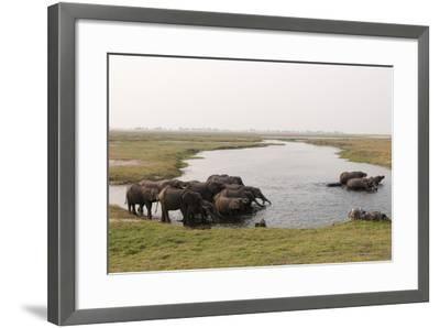 African Elephants (Loxodonta Africana), Chobe National Park, Botswana, Africa-Sergio Pitamitz-Framed Photographic Print