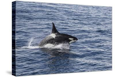 Adult Bull Type a Killer Whale (Orcinus Orca) Power Lunging in the Gerlache Strait, Antarctica-Michael Nolan-Stretched Canvas Print