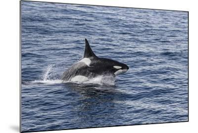 Adult Bull Type a Killer Whale (Orcinus Orca) Power Lunging in the Gerlache Strait, Antarctica-Michael Nolan-Mounted Photographic Print