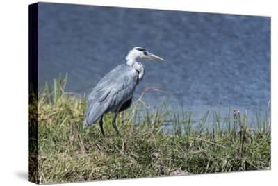 Grey Heron (Ardea Cinerea), Khwai Concession, Okavango Delta, Botswana, Africa-Sergio Pitamitz-Stretched Canvas Print