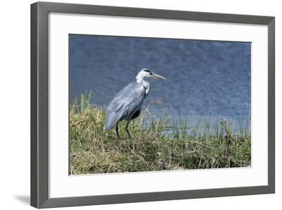 Grey Heron (Ardea Cinerea), Khwai Concession, Okavango Delta, Botswana, Africa-Sergio Pitamitz-Framed Photographic Print