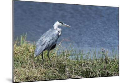Grey Heron (Ardea Cinerea), Khwai Concession, Okavango Delta, Botswana, Africa-Sergio Pitamitz-Mounted Photographic Print