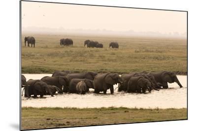 African Elephants (Loxodonta Africana), Chobe National Park, Botswana, Africa-Sergio Pitamitz-Mounted Photographic Print