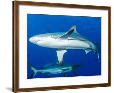 Whitetip Reef Shark (Triaenodon Obesus) Is a Requiem Shark in the Genus Carcharinidae-Louise Murray-Framed Photographic Print