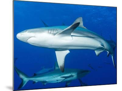 Whitetip Reef Shark (Triaenodon Obesus) Is a Requiem Shark in the Genus Carcharinidae-Louise Murray-Mounted Photographic Print