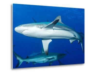 Whitetip Reef Shark (Triaenodon Obesus) Is a Requiem Shark in the Genus Carcharinidae-Louise Murray-Metal Print