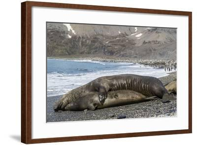Southern Elephant Seals (Mirounga Leonina) Mating, St. Andrews Bay, South Georgia, Polar Regions-Michael Nolan-Framed Photographic Print