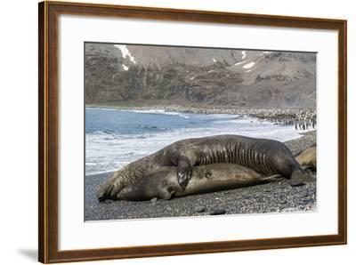 Southern Elephant Seals (Mirounga Leonina) Mating, St. Andrews Bay, South Georgia, Polar Regions-Michael Nolan-Framed Photographic Print