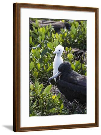 Mother Frigate Bird Tenaciously Protects Her Chick-Roberto Moiola-Framed Photographic Print