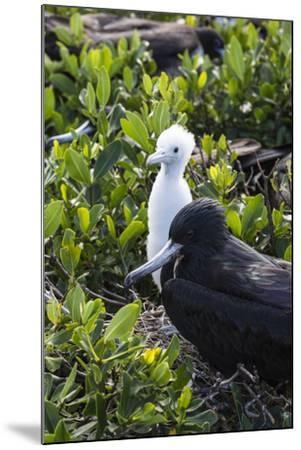 Mother Frigate Bird Tenaciously Protects Her Chick-Roberto Moiola-Mounted Photographic Print