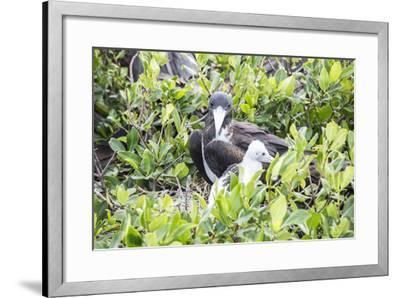 Frigate Bird Sanctuary, Barbuda, Antigua and Barbuda, Leeward Islands, West Indies-Roberto Moiola-Framed Photographic Print
