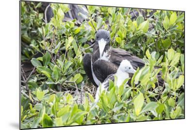 Frigate Bird Sanctuary, Barbuda, Antigua and Barbuda, Leeward Islands, West Indies-Roberto Moiola-Mounted Photographic Print