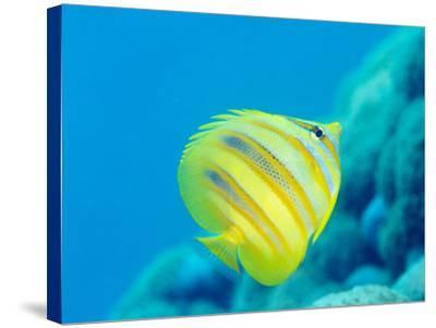 Rainford's Butterflyfish (Chaetodon Rainfordi), Cairns, Queensland, Australia, Pacific-Louise Murray-Stretched Canvas Print