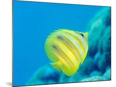Rainford's Butterflyfish (Chaetodon Rainfordi), Cairns, Queensland, Australia, Pacific-Louise Murray-Mounted Photographic Print