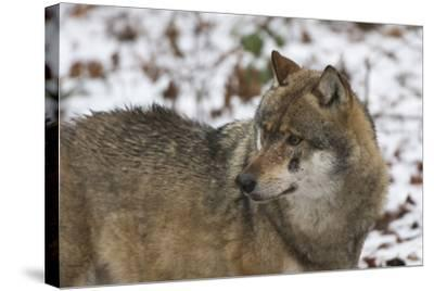 Gray Wolf (Canis Lupus), Bavarian Forest National Park, Bavaria, Germany, Europe-Sergio Pitamitz-Stretched Canvas Print