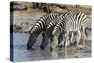 Burchell's Zebras (Equus Burchelli), Khwai Concession, Okavango Delta, Botswana, Africa-Sergio Pitamitz-Stretched Canvas Print