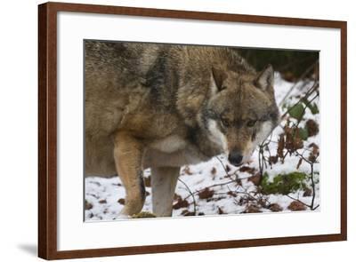 Gray Wolf (Canis Lupus), Bavarian Forest National Park, Bavaria, Germany, Europe-Sergio Pitamitz-Framed Photographic Print