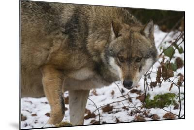 Gray Wolf (Canis Lupus), Bavarian Forest National Park, Bavaria, Germany, Europe-Sergio Pitamitz-Mounted Photographic Print