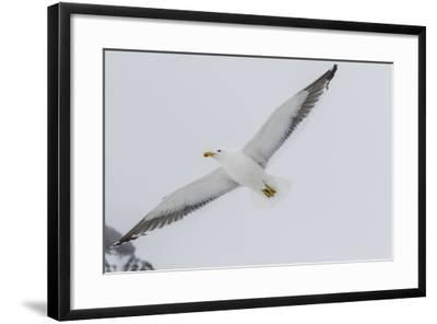 Adult Kelp Gull (Larus Dominicanus) in Flight at Brown Bluff, Antarctic Sound, Antarctica-Michael Nolan-Framed Photographic Print