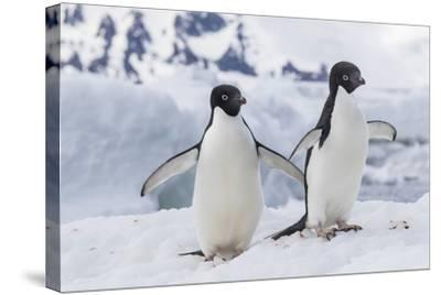 Adelie Penguin (Pygoscelis Adeliae) Pair, at Brown Bluff, Antarctica, Southern Ocean, Polar Regions-Michael Nolan-Stretched Canvas Print