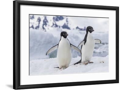 Adelie Penguin (Pygoscelis Adeliae) Pair, at Brown Bluff, Antarctica, Southern Ocean, Polar Regions-Michael Nolan-Framed Photographic Print