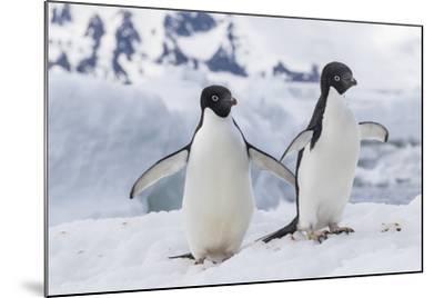 Adelie Penguin (Pygoscelis Adeliae) Pair, at Brown Bluff, Antarctica, Southern Ocean, Polar Regions-Michael Nolan-Mounted Photographic Print