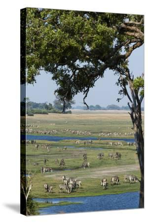 Burchell's Zebras (Equus Burchelli), Chobe National Park, Botswana, Africa-Sergio Pitamitz-Stretched Canvas Print