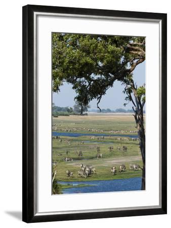 Burchell's Zebras (Equus Burchelli), Chobe National Park, Botswana, Africa-Sergio Pitamitz-Framed Photographic Print