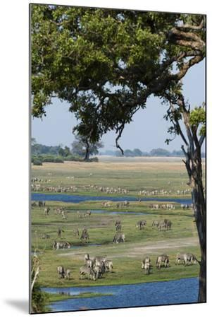 Burchell's Zebras (Equus Burchelli), Chobe National Park, Botswana, Africa-Sergio Pitamitz-Mounted Photographic Print