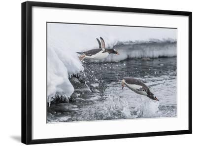 Gentoo Penguins (Pygoscelis Papua) Leaping into the Sea at Booth Island, Antarctica, Polar Regions-Michael Nolan-Framed Photographic Print