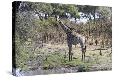 Southern Giraffe (Giraffa Camelopardalis), Khwai Concession, Okavango Delta, Botswana, Africa-Sergio Pitamitz-Stretched Canvas Print