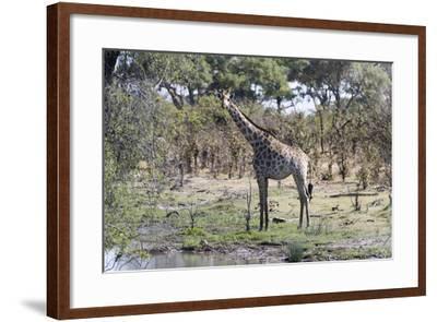 Southern Giraffe (Giraffa Camelopardalis), Khwai Concession, Okavango Delta, Botswana, Africa-Sergio Pitamitz-Framed Photographic Print
