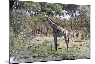 Southern Giraffe (Giraffa Camelopardalis), Khwai Concession, Okavango Delta, Botswana, Africa-Sergio Pitamitz-Mounted Photographic Print