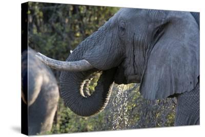 African Elephant (Loxodonta Africana), Khwai Concession, Okavango Delta, Botswana, Africa-Sergio Pitamitz-Stretched Canvas Print