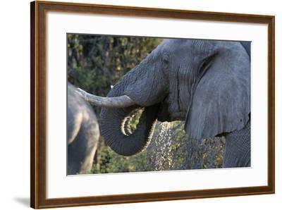 African Elephant (Loxodonta Africana), Khwai Concession, Okavango Delta, Botswana, Africa-Sergio Pitamitz-Framed Photographic Print