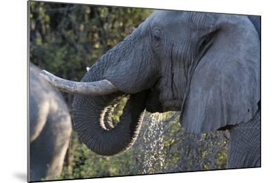 African Elephant (Loxodonta Africana), Khwai Concession, Okavango Delta, Botswana, Africa-Sergio Pitamitz-Mounted Photographic Print