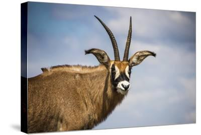 Roan Antelope (Hippotragus Equinus), Nyika National Park, Malawi, Africa-Michael Runkel-Stretched Canvas Print